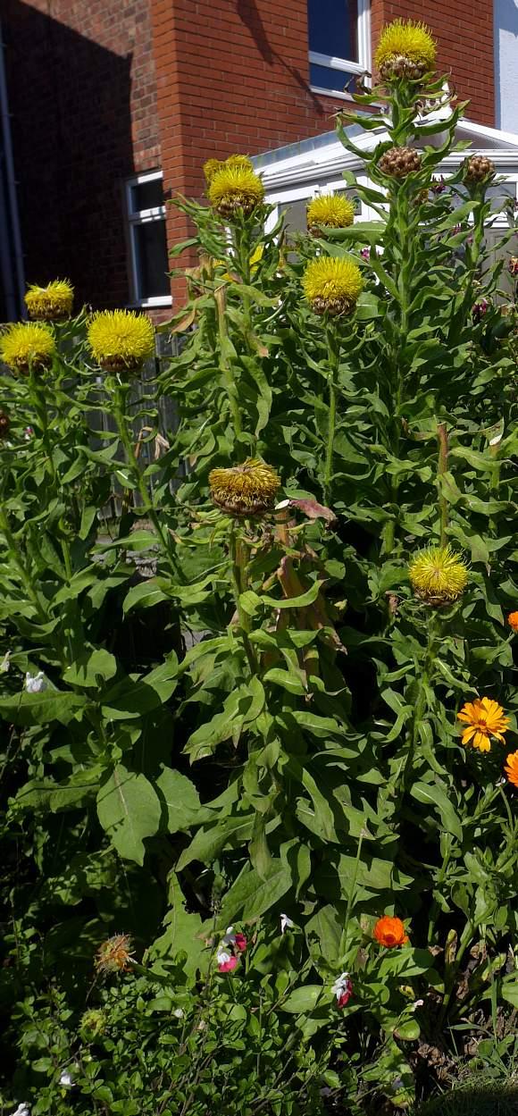 Knapweed Giant Giant Knotweed Knot Weed Wild Flower Finder